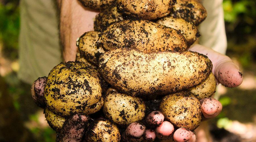 ¿Cuántos kilos de patatas podemos llegar a comer durante un año?