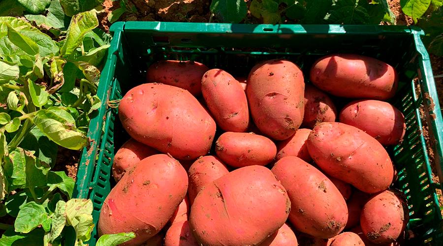 patata roja ibiza sa feixa 2