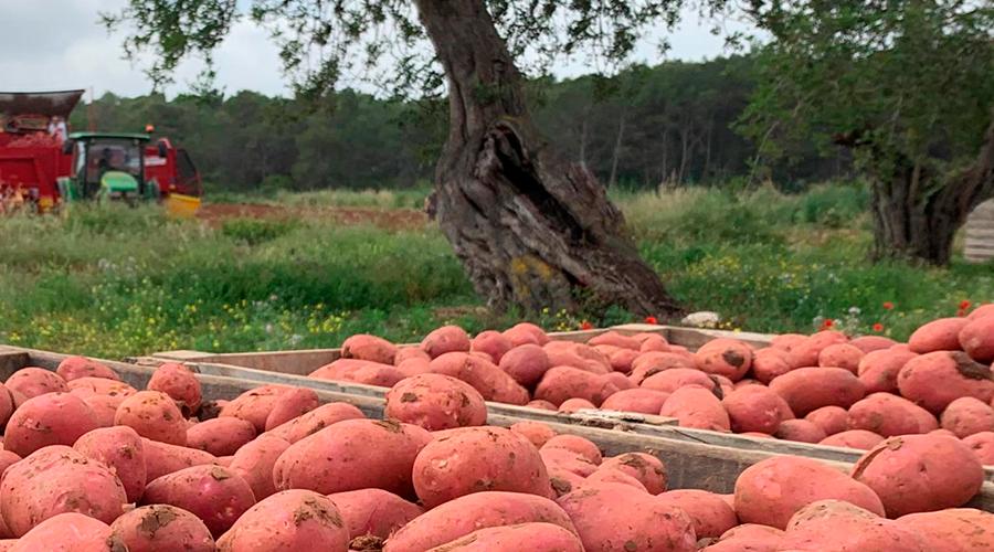 patata roja ibiza sa feixa 3