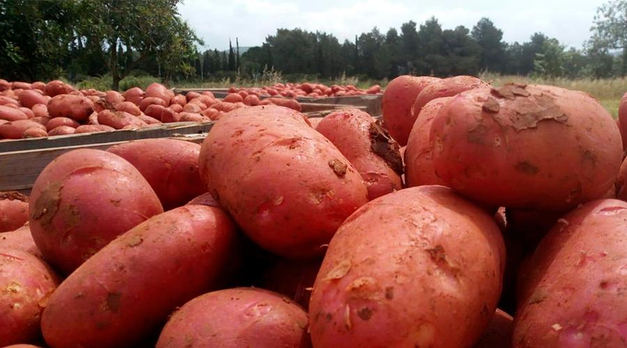 patata roja ibiza sa feixa 4